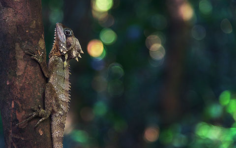 High-resolution desktop wallpaper Boyd's Forest Dragon by Grant Cabot