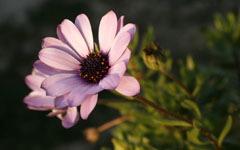 Светло-фиолетовый цветок на стебле.  Цветы.