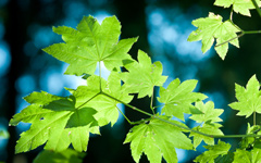 Leaves at Lynn Canyon Park wallpaper